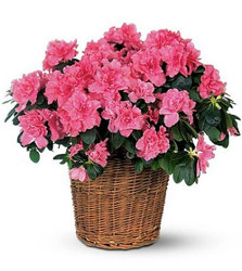 Azalea Blooming Plant from Martinsville Florist, flower shop in Martinsville, NJ