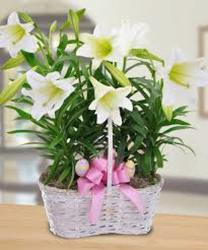 Easter Lily Multi Plants from Martinsville Florist, flower shop in Martinsville, NJ