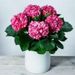 Pink Hydrangea Plant from Martinsville Florist, flower shop in Martinsville, NJ