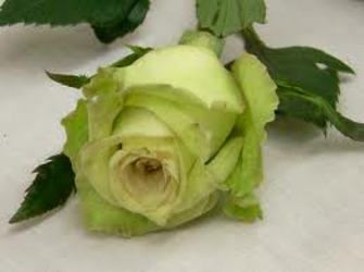 St Patrick's Green Roses from Martinsville Florist, flower shop in Martinsville, NJ