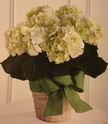 White Hydrangea Plant from Martinsville Florist, flower shop in Martinsville, NJ