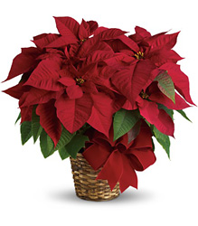 Red Poinsettia from Martinsville Florist, flower shop in Martinsville, NJ