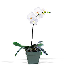 Phalaenopsis Orchid Plant from Martinsville Florist, flower shop in Martinsville, NJ
