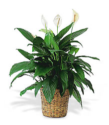 Large Peace Lily Plant from Martinsville Florist, flower shop in Martinsville, NJ