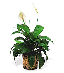 Medium Peace Lily Plant from Martinsville Florist, flower shop in Martinsville, NJ