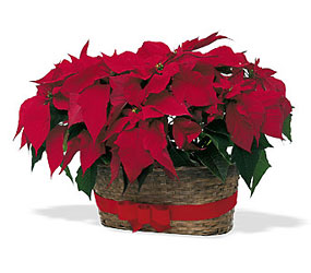 Double Poinsettia Basket from Martinsville Florist, flower shop in Martinsville, NJ